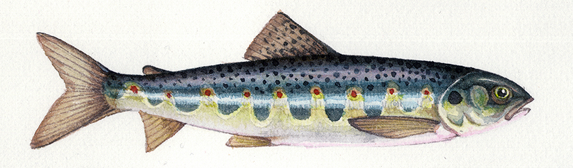 Natural History Illustration: Salmon life cycle - Lizzie ...Atlantic Salmon Parr