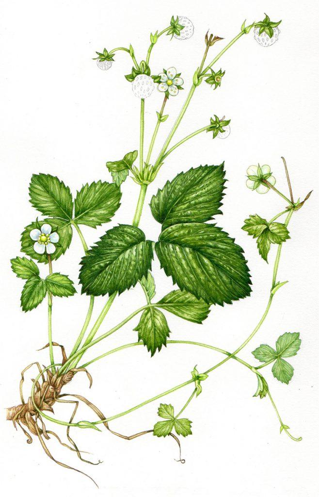 Step by step illustration of a Wild Strawberry - Lizzie Harper