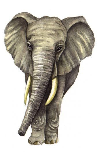 African elephant Loxodonta africana natural history illustration by Lizzie Harper