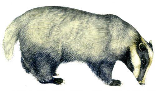 Badger Meles meles natural history illustration by Lizzie Harper