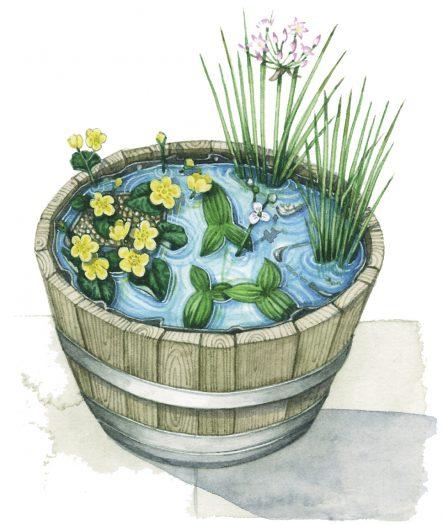 Pond in a half barrel natural history illustration by Lizzie Harper