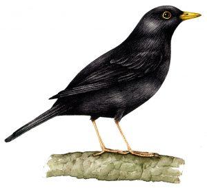 Blackbird natural history illustration by Lizzie Harper