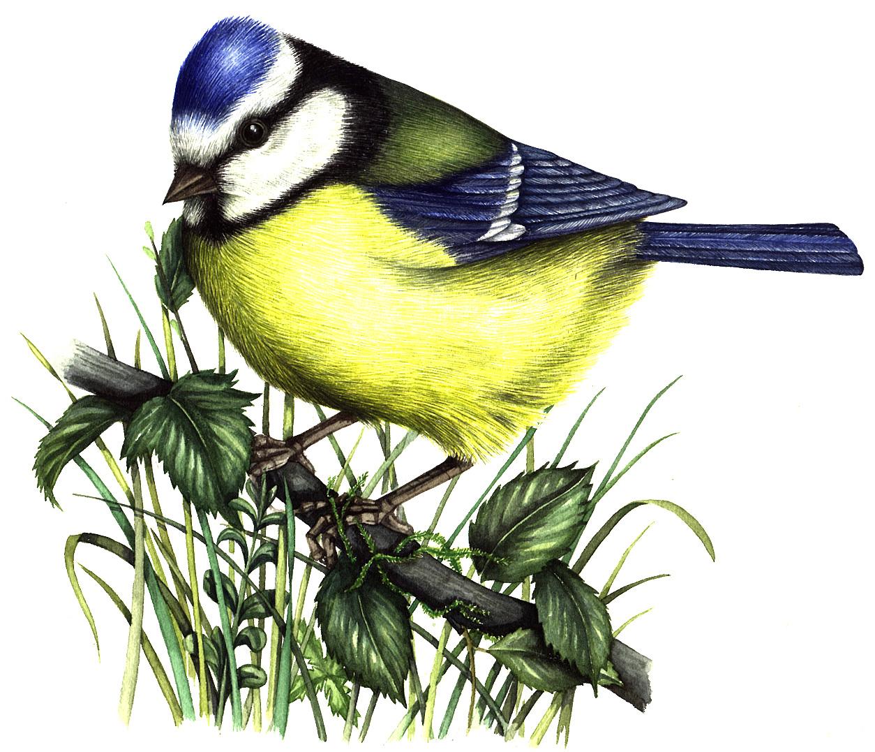 Blue tit natural history illustration by Lizzie Harper