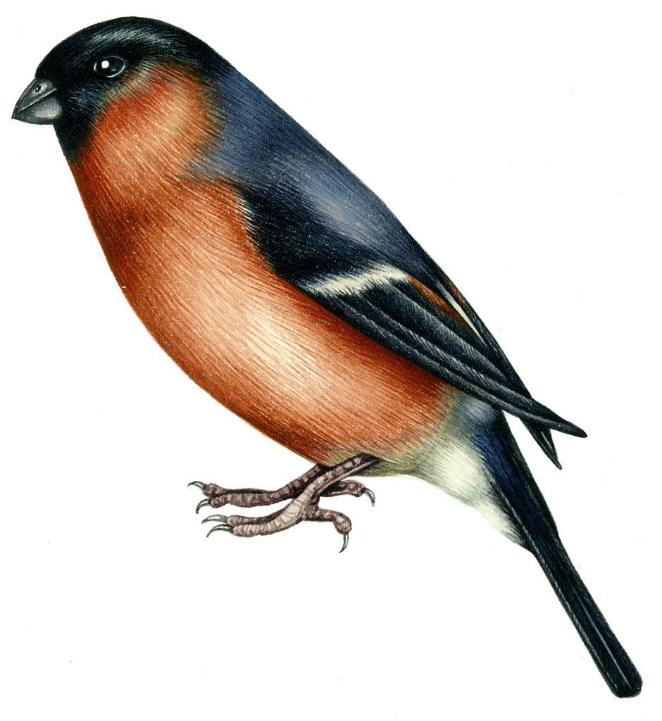 Bullfinch natural history illustration by Lizzie Harper