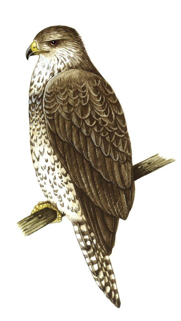 Buzzard natural history illustration by Lizzie Harper