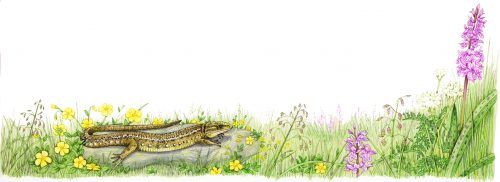 Common lizard in field natural history illustration by Lizzie Harper