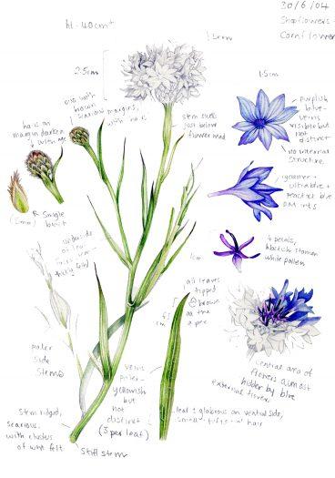 Cornflower Centaura cyanus botanical illustration sketchbook style natural history illustration by Lizzie Harper