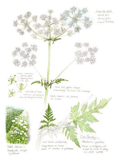 Cow parsley Anthriscus sylvestis botanical illustration sketchbook style natural history illustration by Lizzie Harper
