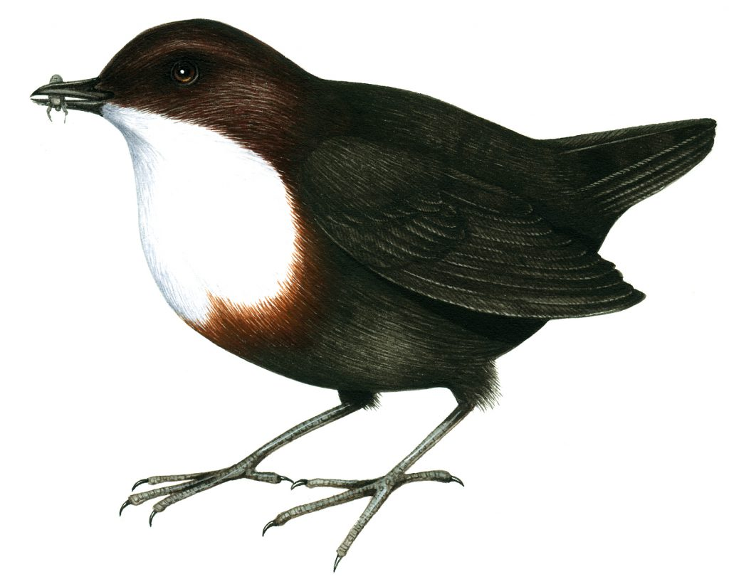 Dipper natural history illustration by Lizzie Harper
