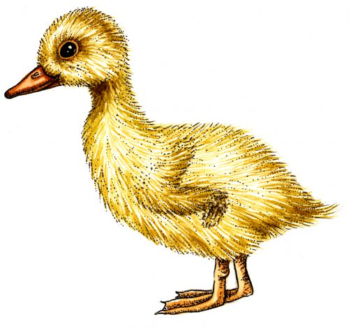 duck egg duckling 500x470 diagram of duck egg development hatched duckling chick lizzie harper