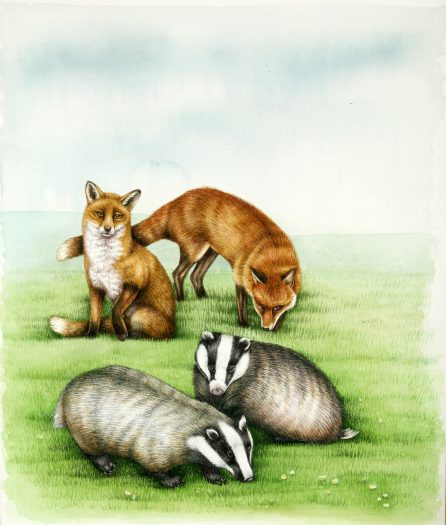 Fox Vulpes vulpes with Badgers Meles meles natural history illustration by Lizzie Harper
