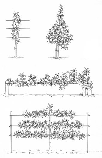 Fruit tree type or pattern of growth showing lots of different shaped examples natural history illustration by Lizzie Harper