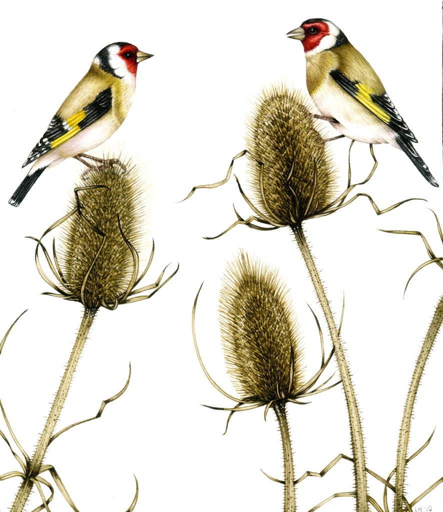 Goldfinch Carduelis carduelis natural history illustration by Lizzie Harper