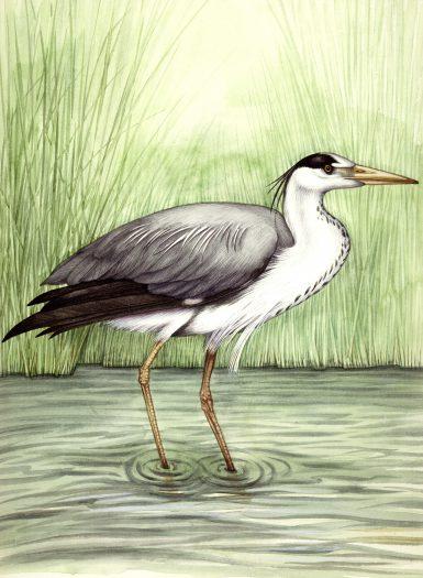 Grey heron Ardea cinerea natural history illustration by Lizzie Harper