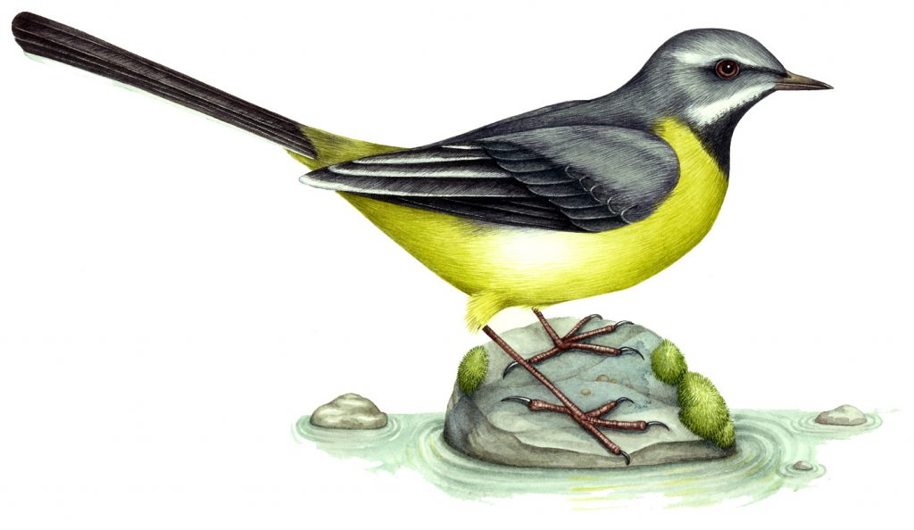 Grey wagtail Motacilla cinerea natural history illustration by Lizzie Harper