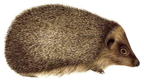 Hedgehog Erinaceus europaeus natural history illustration by Lizzie Harper