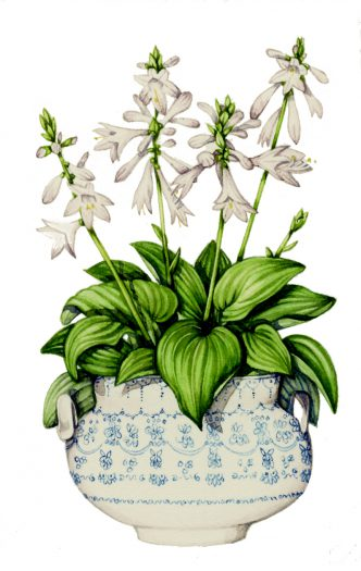 Hostas in a container natural history illustration by Lizzie Harper