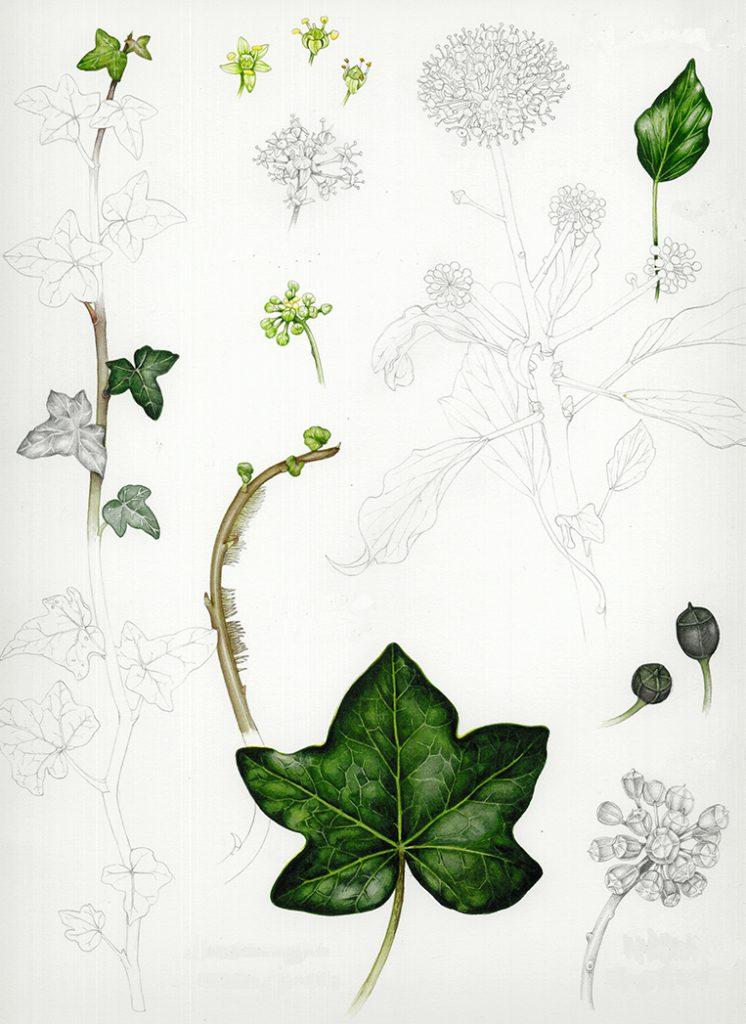 Ivy studies hedera helix botanical illustration sketchbook style natural history illustration by Lizzie Harper