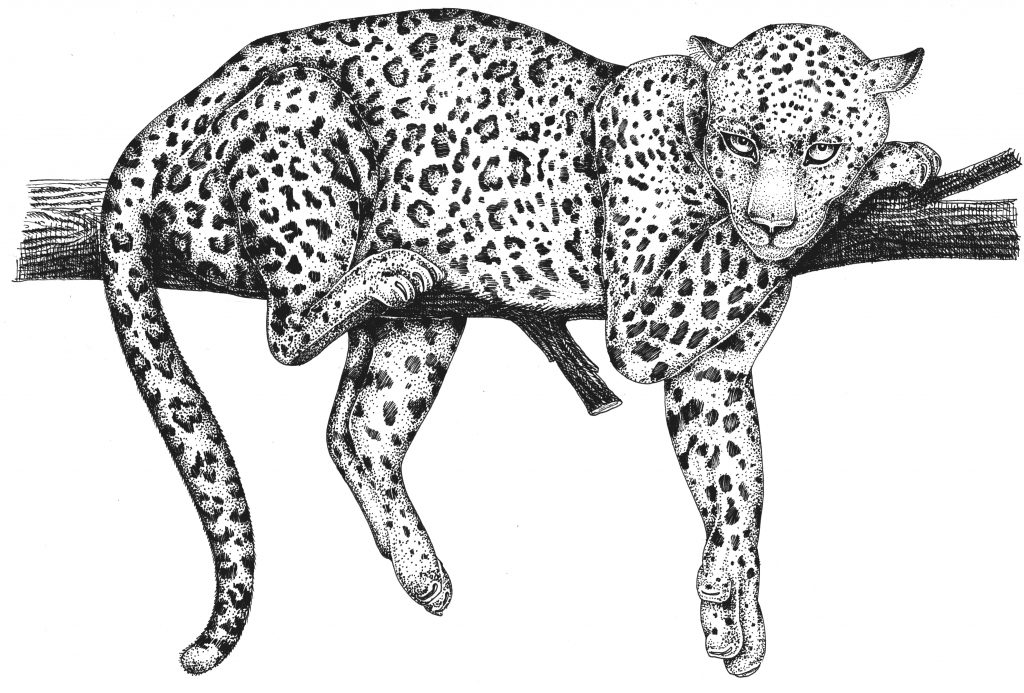 Leopard head Panthera pardus natural history illustration by Lizzie Harper