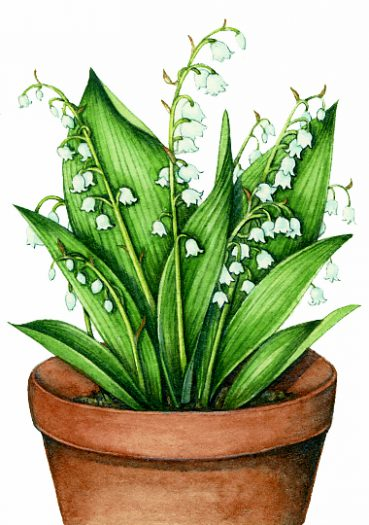 Lily of the valley natural history illustration by Lizzie Harper