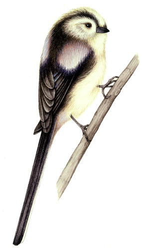Long tailed tit Aegithalos caudatus natural history and wildlife illustration by Lizzie Harper