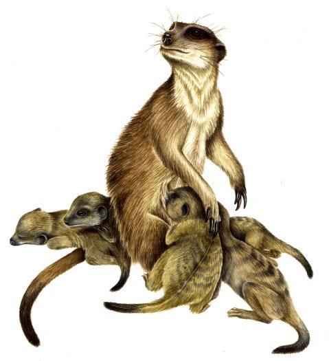 Meerkat Suricata suricatta natural history illustration by Lizzie Harper