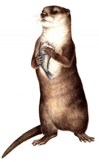 Oriental small clawed otter Aonyx cinerea natural history illustration by Lizzie Harper