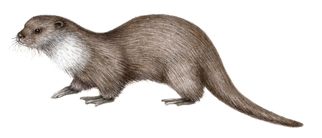 Otter Lutra lutra natural history illustration by Lizzie Harper