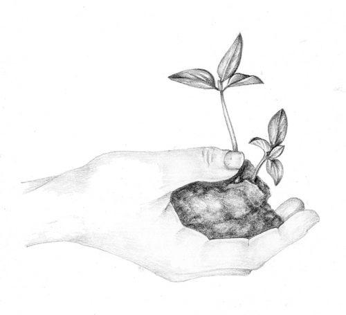 Pepper seedling natural history illustration by Lizzie Harper