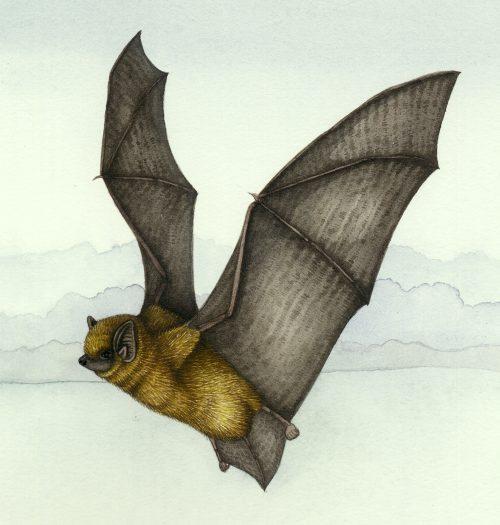 Pipistrelle Pipistrellus pipistrellus natural history illustration by Lizzie Harper