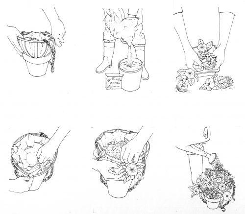 Establishing a hanging basket natural history illustration by Lizzie Harper