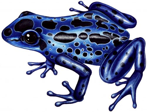 Posion dart arrow frog natural history illustration by Lizzie Harper
