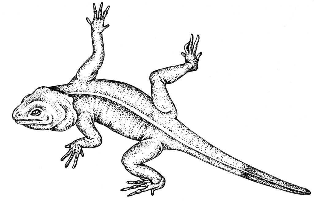 Rainbow agama lizard natural history illustration by Lizzie Harper