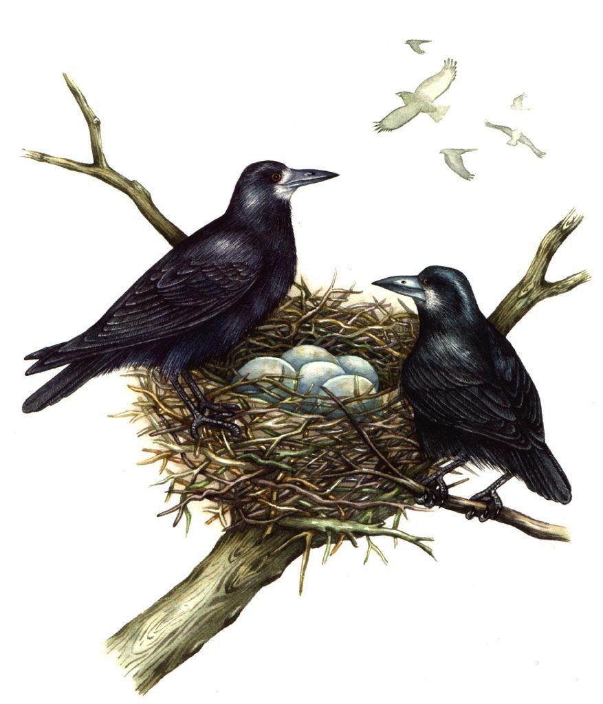 Rooks Corvus frugilegus natural history illustration by Lizzie Harper