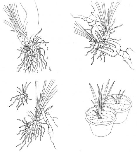 Root dividing iris natural history illustration by Lizzie Harper