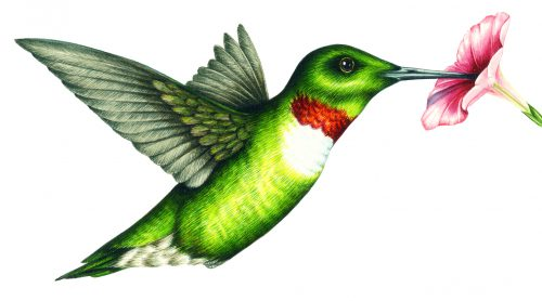 Ruby throated Hummingbird Archilochus colubris natural history illustration by Lizzie Harper