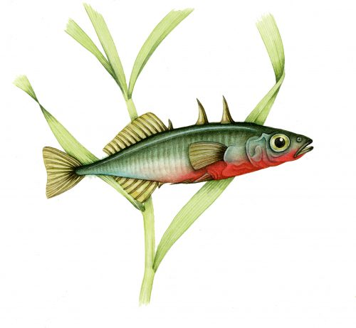 Three spined stickleback natural history illustration by Lizzie Harper
