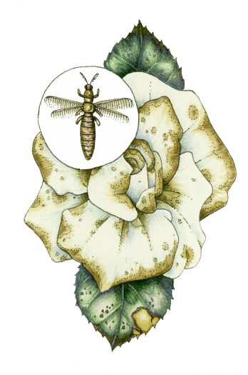 Thrip damage natural history illustration by Lizzie Harper