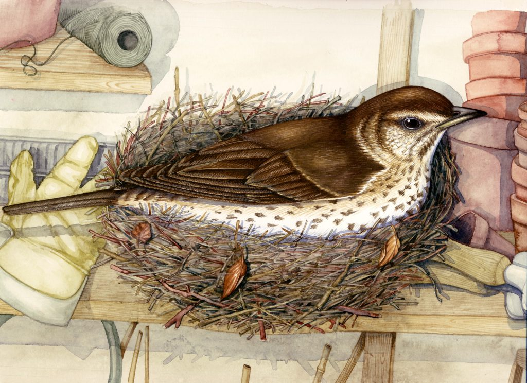 Thrush Turdus philomelos natural history illustration by Lizzie Harper