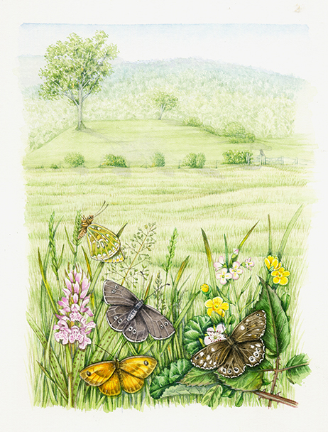 Wet meadow land scape with butterfly species natural history illustration by Lizzie Harper