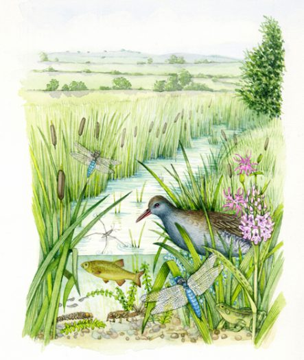 Wetland landscape with water rail and stream cross section natural history illustration by Lizzie Harper