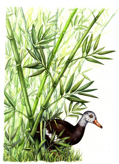 White winged Duck Asarcornis scutulata natural history illustration by Lizzie Harper