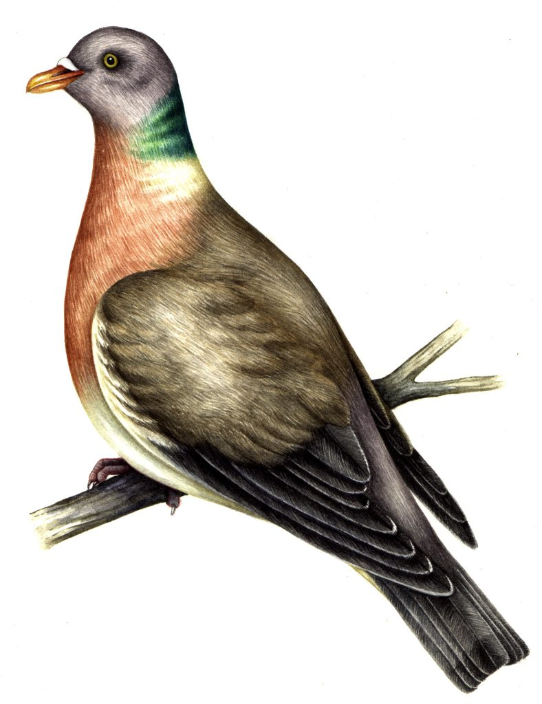 Common wood pigeon Columba palumbus natural history illustration by Lizzie Harper