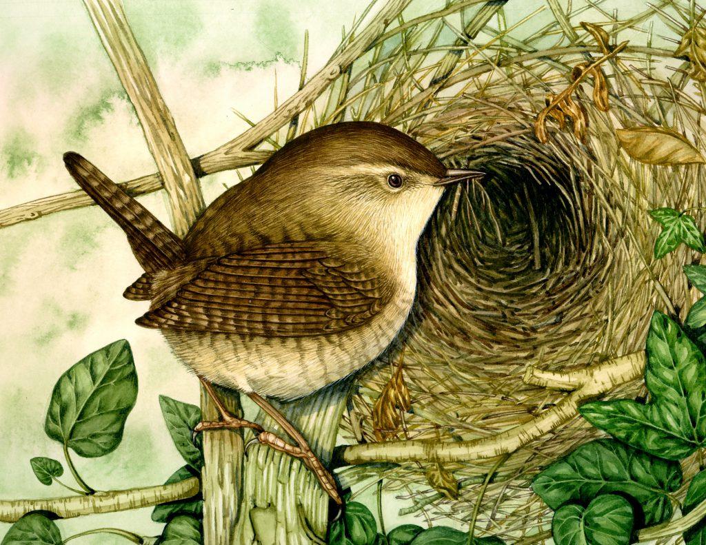 Wren Troglodytes troglodytes natural history illustration by Lizzie Harper