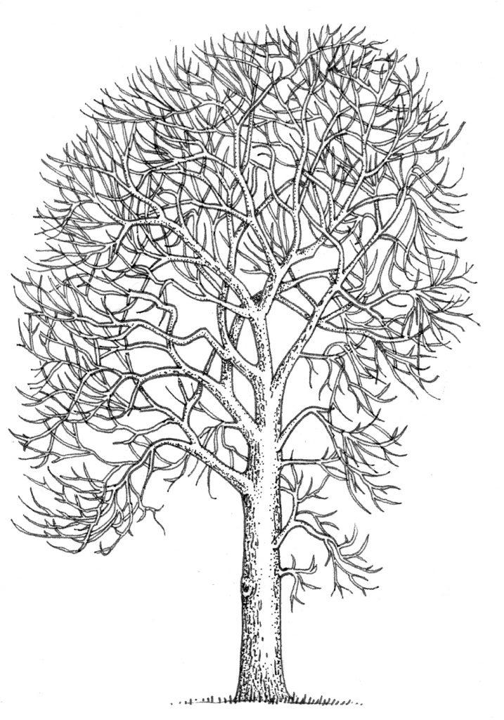 Ash tree Fraxinus excelsior natural history illustration by Lizzie Harper