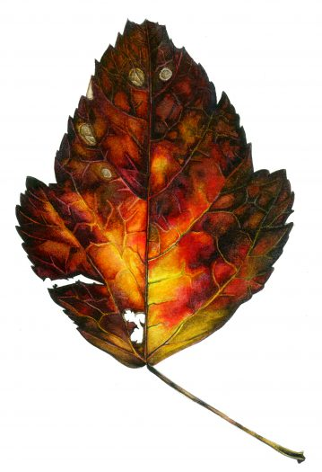 Autumn leaf natural history illustration by Lizzie Harper