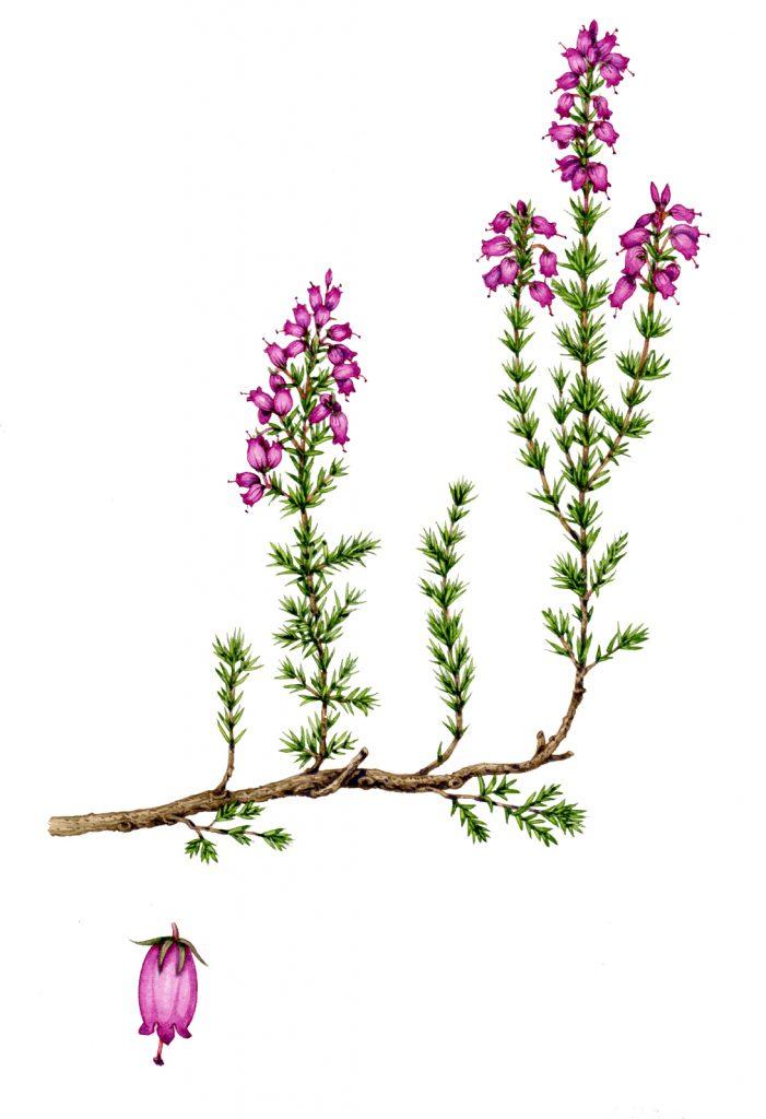 Bell heather Erica cinerea natural history illustration by Lizzie Harper