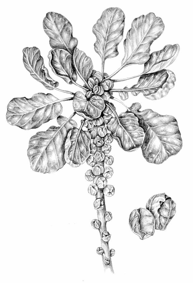 Brussels sprout Brassica oleracea gemmifera natural history illustration by Lizzie Harper