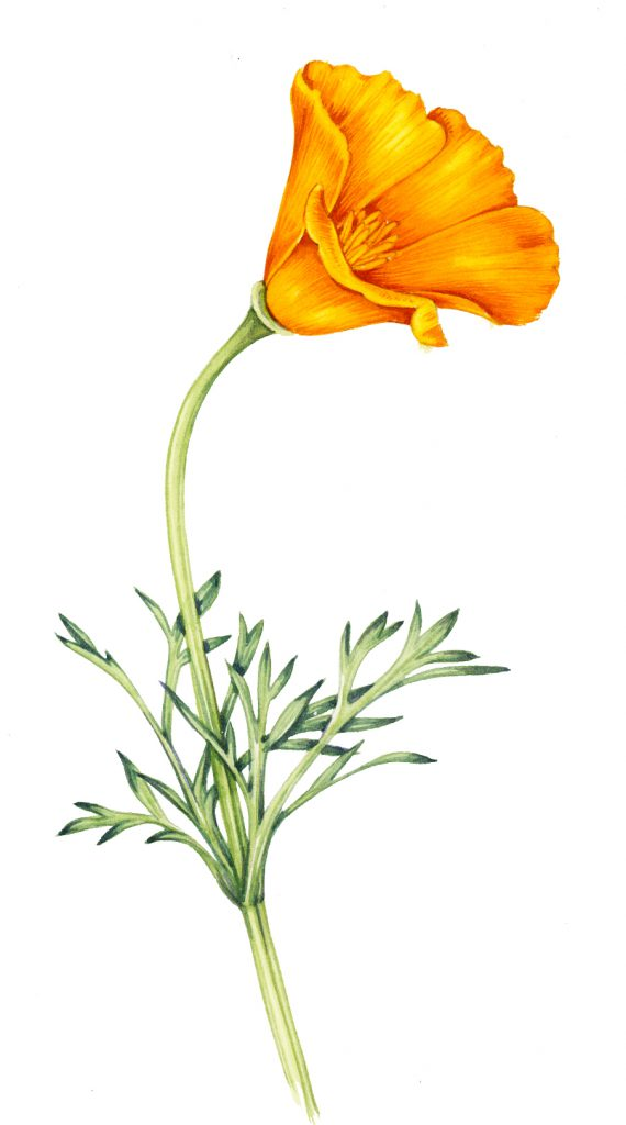 California poppy Eschscholzia californica natural history illustration by Lizzie Harper