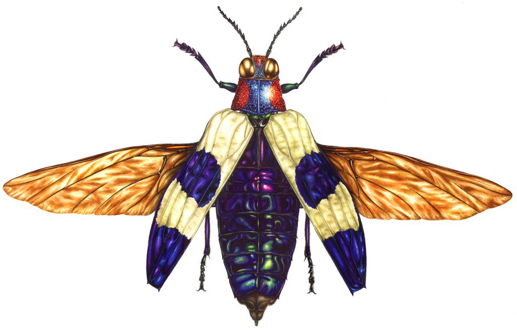 Banded jewel beetle Chrysochroa buqueti rugicollis natural history illustration by Lizzie Harper